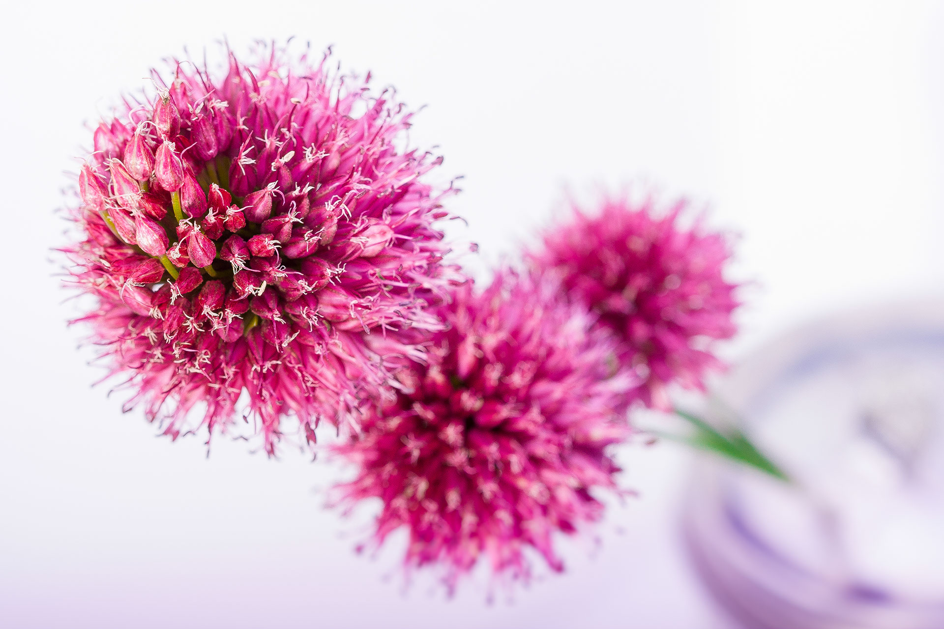 knoblauchblumen